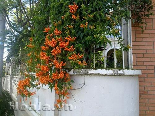 Hoa chùm ớt rực cháy trước cổng nhà | hoala.vn