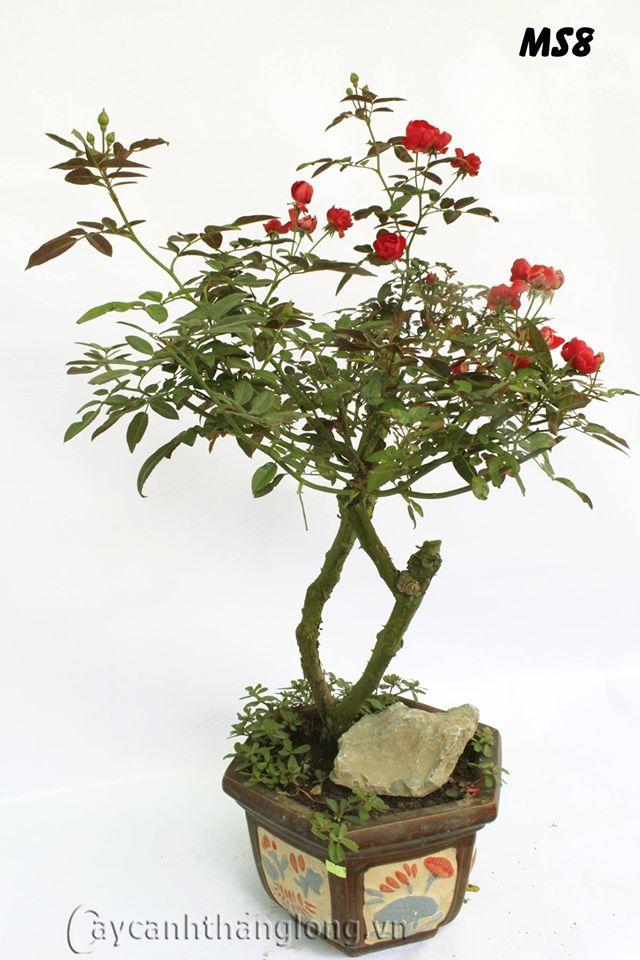 Cach Tạo Dang Thế Cho Hoa Hồng Bonsai