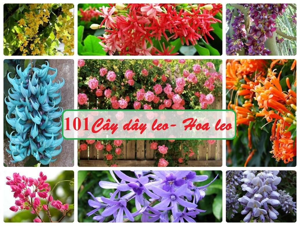 101 cây dây leo , hoa leo đẹp chống nắng mùa hè