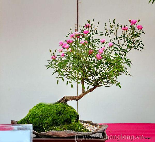 Hoa Hồng Bonsai Xu Thế Chơi Hoa Mới Sang Trọng độc đao