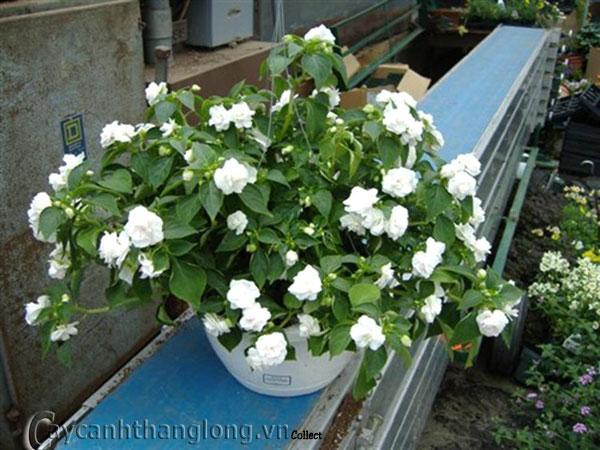 trồng hoa ngọc thảo trên ban công