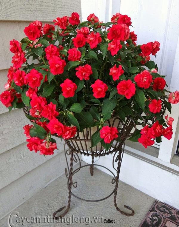 hoa ngọc thảo kép xoắn