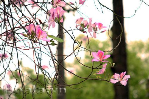 Sắc hoa ban Tây Bắc | hoala.vn