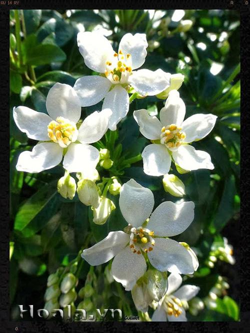 hoa mau trang - hoa nhai tay