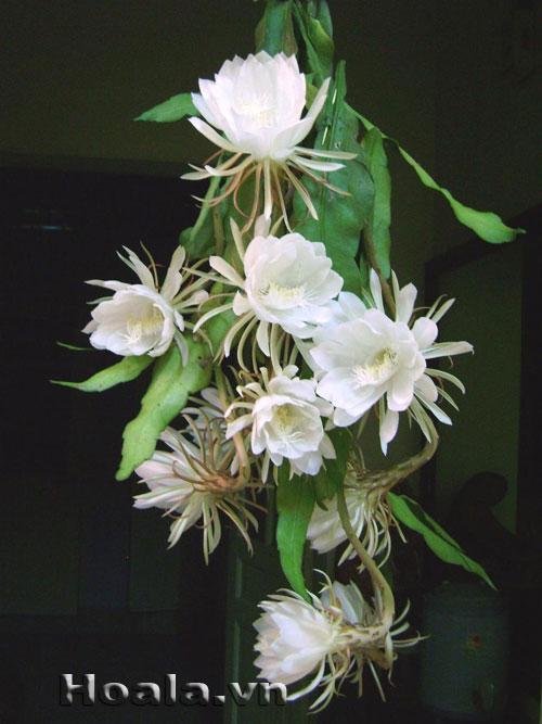hoa mau trang - hoa quynh