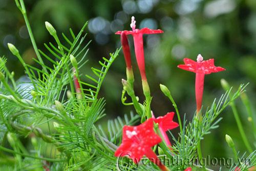 Hoa sao mong manh đỏ thắm