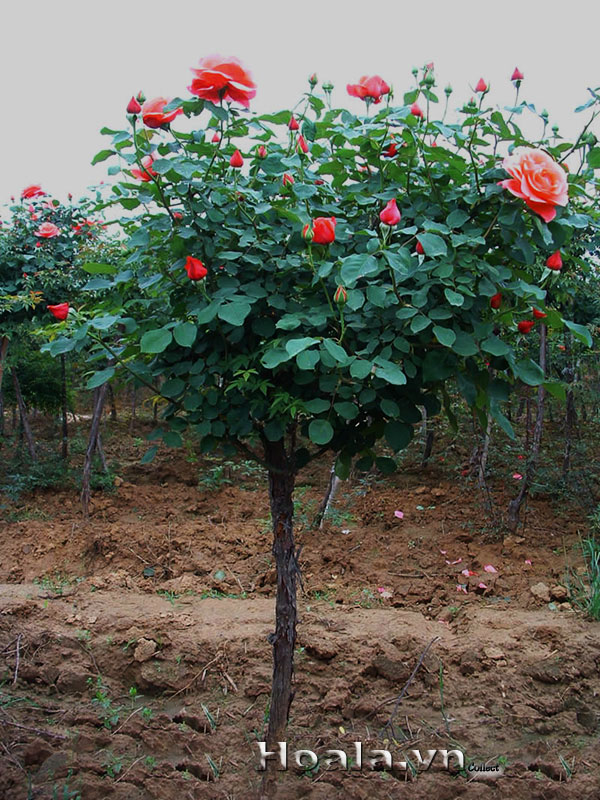 hoa-hong-tree-rose-1