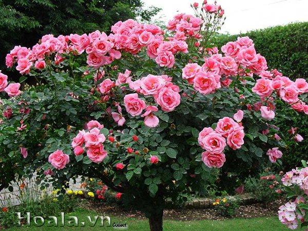 hoa-hong-tree-rose