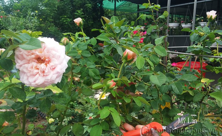 Abraham Darby rose