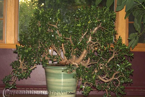 cây lá ngọc cành vàng, cây phong thủy