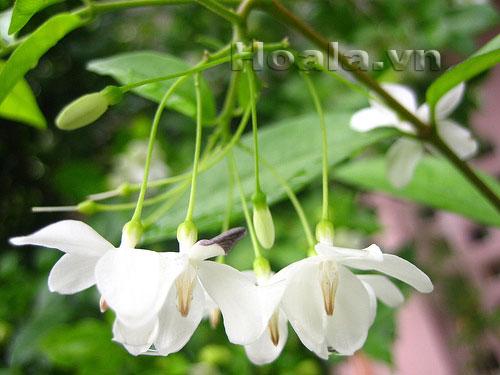 hoa mau trang - hoa mai chieu thuy 02