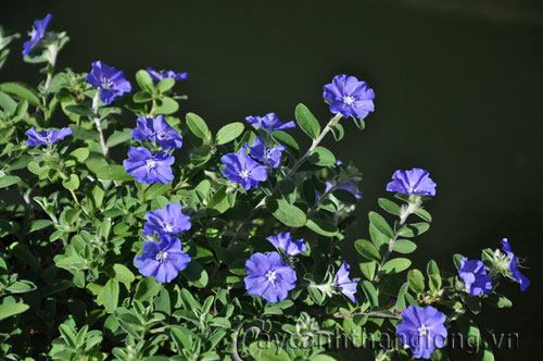 Hoa Thanh tú sắc xanh tím nhẹ nhàng | hoala.vn