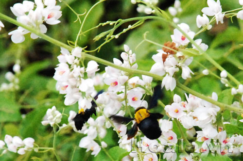 hoa mau trang - hoa tigon trang