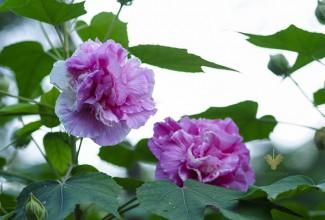 hoa-phu-dung-hibiscus-mutabilis-l