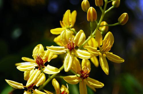 Dây kim đồng hoa đẹp, ngát hương