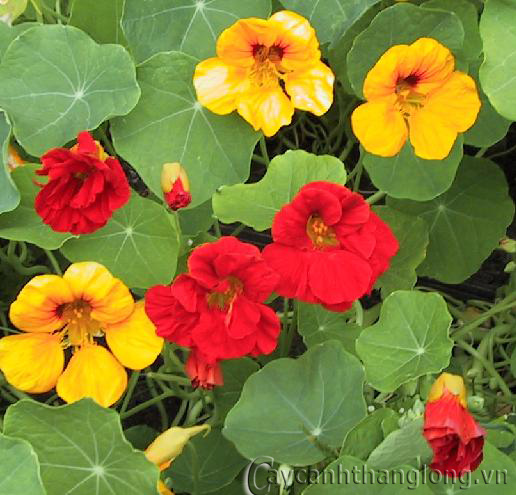 Sen cạn: hoa đẹp, lạ, thuốc hay