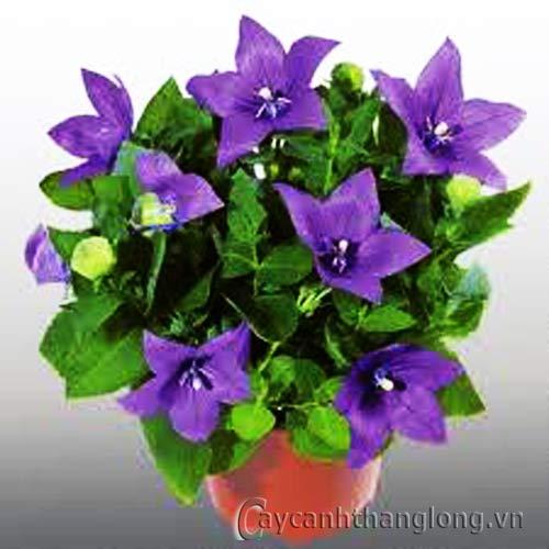 Thủy chung loài hoa mang tên Cát Cánh