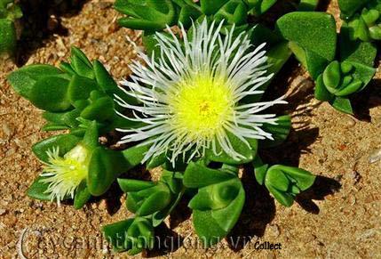 Phát hiện cây hoa lạ nhai giúp giảm stress, hết đói