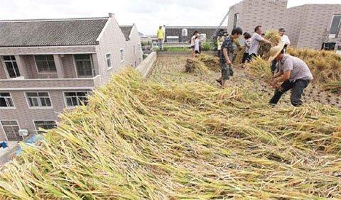 Nông dân cày cấy trên nóc nhà