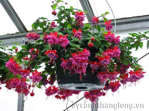Chăm sóc chậu hoa treo tại nhà