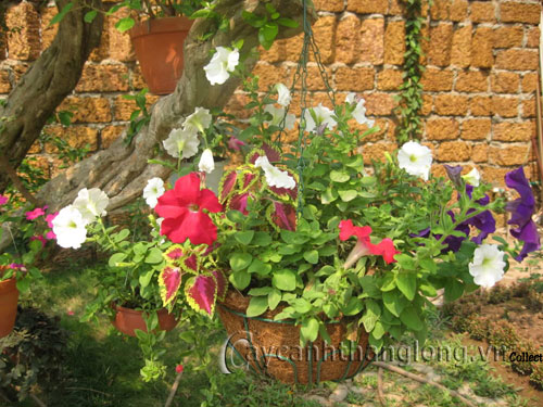 Cây cảnh, cây hoa bị ngộ độc vì bón phân quá liều