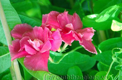Nàng hoa Hồng Anh đầy sức quyến rũ