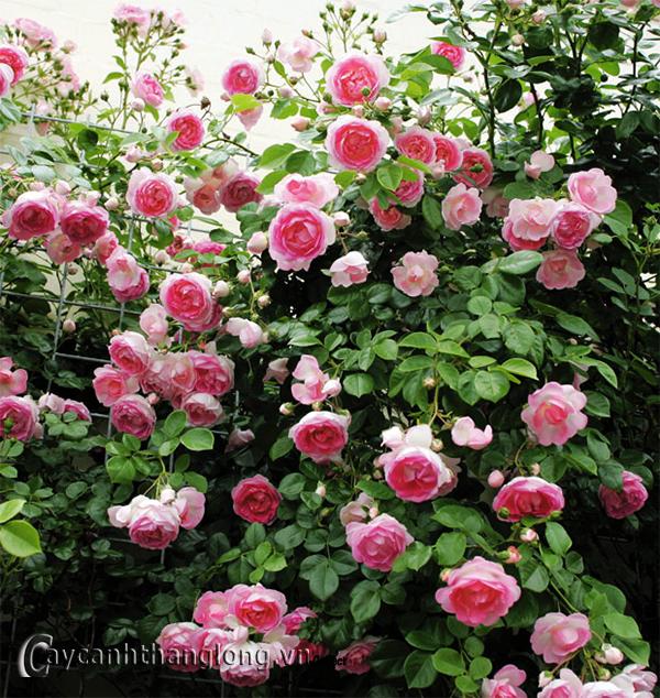 Bí quyết để có giàn hồng leo đẹp trên ban công