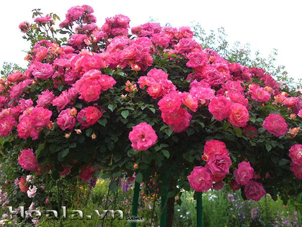 Cây hoa hồng cổ,tree rose gốc khủng,cực sai hoa, đẹp nghệ thuật