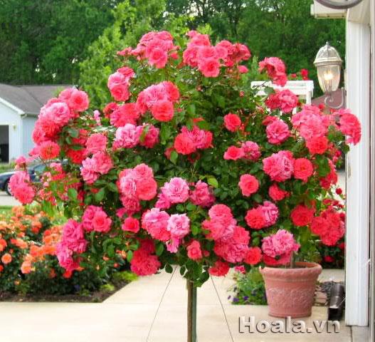 Cách nhận biết cây hoa hồng tree roses thiếu chất gì qua biểu hiện lá