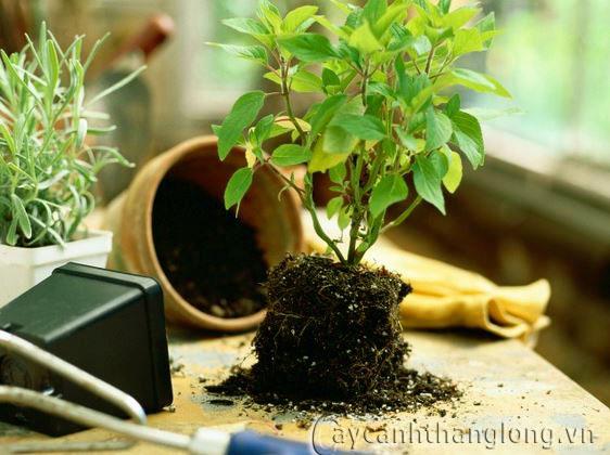 Kỹ thuật trồng cây trong bồn chậu và chăm sóc cây sau trồng