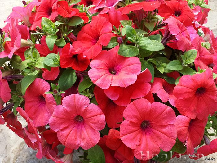 Mùa hoa dạ yến thảo cho ngôi nhà thêm xinh