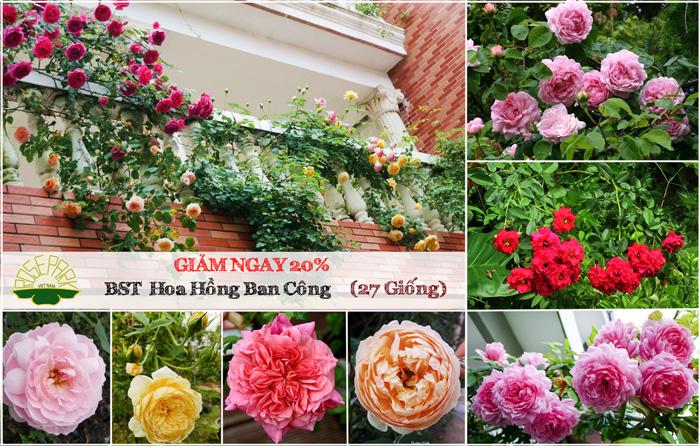 Bộ sưu tập HOA HỒNG ban công buông rủ tuyệt đẹp tại Cây cảnh Thăng Long