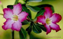 Kỹ thuật trồng và chăm sóc cây hoa sứ trong chậu