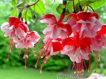 Hoa lồng đèn (hoa đăng) - Loài hoa quý