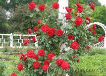 Cách chăm sóc hồng ra nhiều hoa