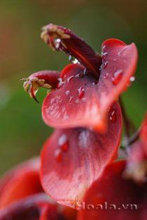 Hoa Vông mồng gà thắm sắc