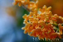 Hoa mộc nồng nàn như hương hoa sữa