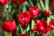 Nàng hoa tulip xinh đẹp