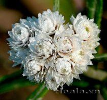 Hoa cúc bất tử tinh khôi sắc trắng