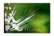 Hoang sơ vẻ đẹp hoa râu mèo