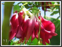 Hoa so đũa hoa đẹp, món ngon
