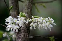 Hoa sưa trắng tinh khôi