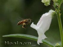 Hoa vừng dịu dàng chân phương
