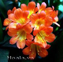 Lan quân tử - cốt cách một loài hoa