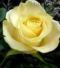 Sự tích loài hoa hồng vàng