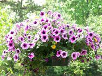 Mong manh những loài hoa tím