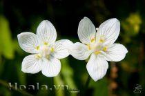 Hoa tinh khôi làm trắng da