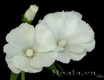 Hoa cẩm quỳ xinh tươi đón nắng