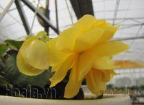 Hoa Thu hải đường buông rủ mềm mại tại trang trại hoa Cây cảnh Thăng Long