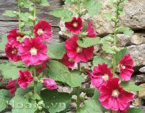 Hoa mãn đỉnh hồng rực rỡ